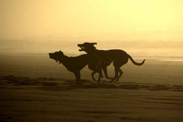 Dogs running on a California beach at sunset