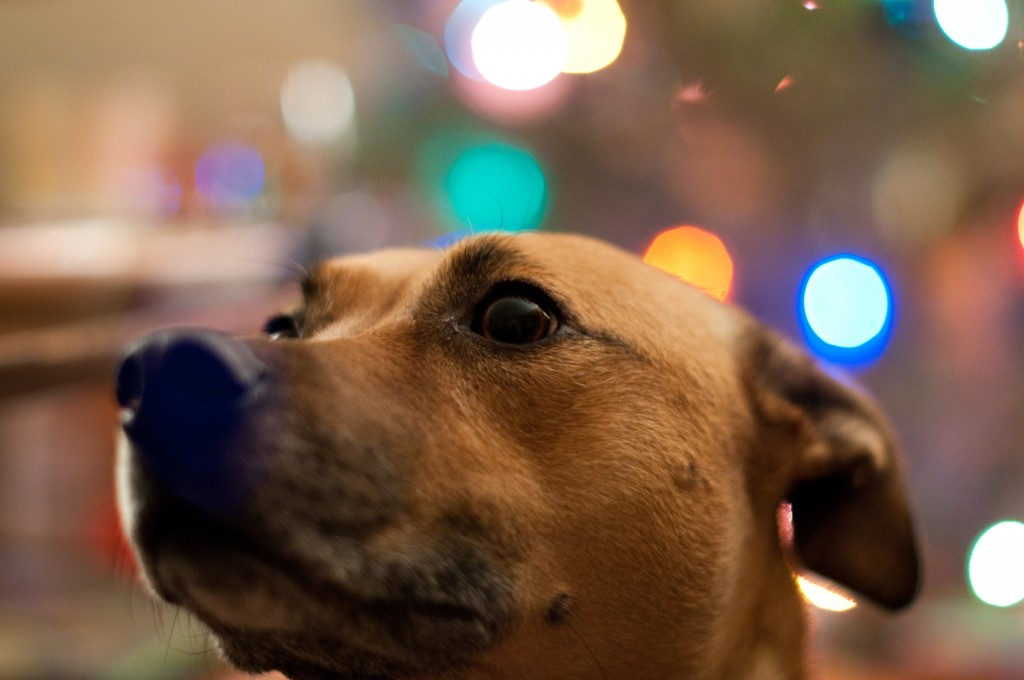 Dog with Christmas Bokeh